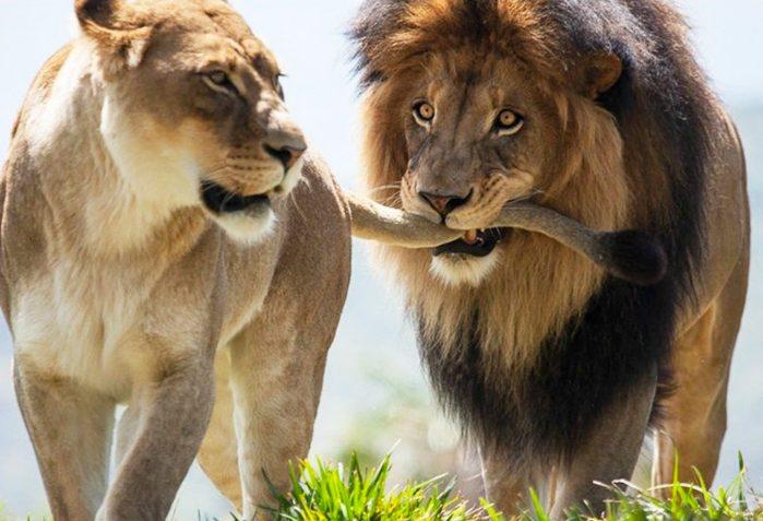 lion-family-e1530341928966